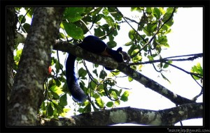 Malabar giant squirrel (Ratufa indica)