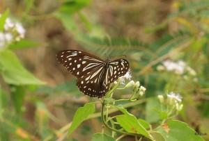 Nilgiri Tiger (Parantica nilgiriensis)