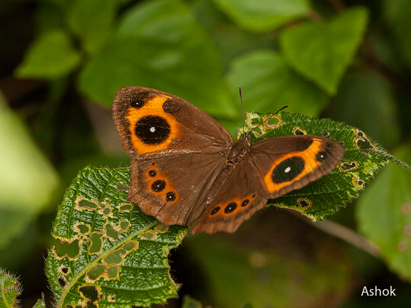 Red-Disc Bush Brown